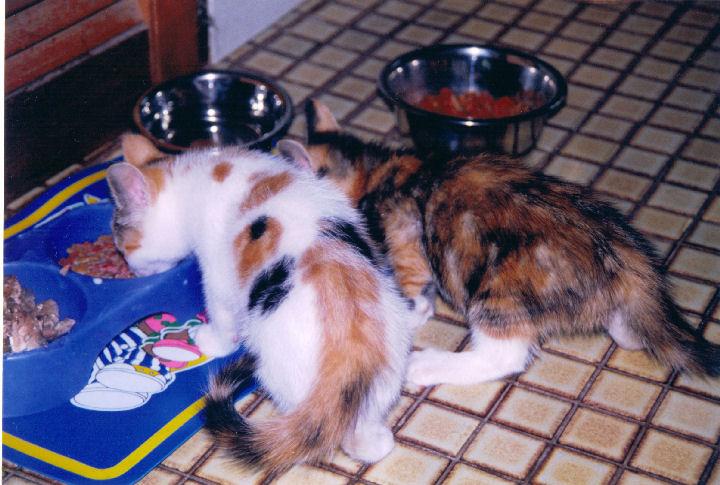 Alice - cat,kat,gato - Kats R Us