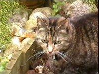 Aram - cat,kat,gato - Kats R Us
