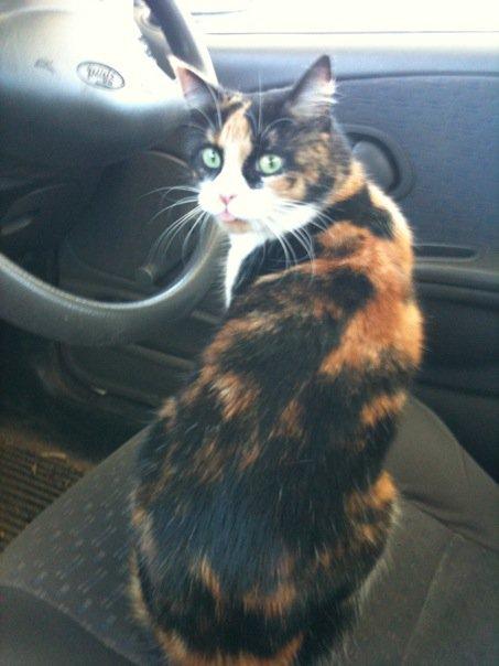 Beryl - cat,kat,gato - Kats R Us