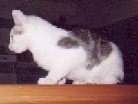 Bronson - cat,kat,gato - Kats R Us