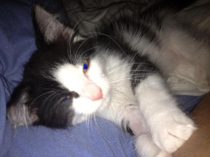 Jinxy - cat,kat,gato - Kats R Us