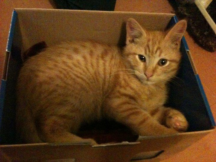 Lemmy - cat,kat,gato - Kats R Us