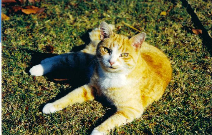 Linda Hairington - cat,kat,gato - Kats R Us