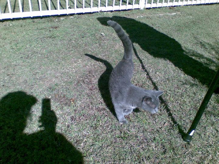 Missy - cat,kat,gato - Kats R Us