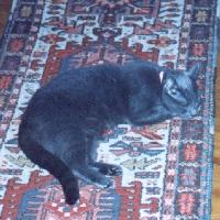 Misty - cat,kat,gato - Kats R Us