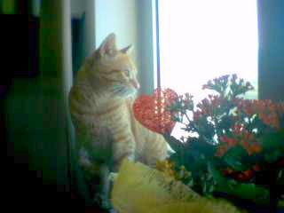 Romeo - cat,kat,gato - Kats R Us