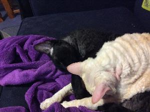 Ruga and Farofa - cat,kat,gato - Kats R Us