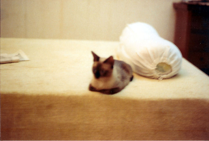 Samantha - cat,kat,gato - Kats R Us
