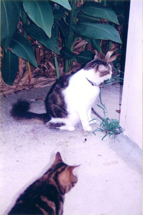 Scratchie - cat,kat,gato - Kats R Us