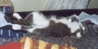 Sophie - cat,kat,gato - Kats R Us