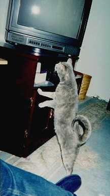 Steinway - cat,kat,gato - Kats R Us
