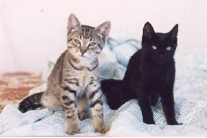 Sydney - cat,kat,gato - Kats R Us