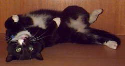 Vester - cat,kat,gato - Kats R Us